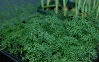 Укроп дома на подоконнике из семян